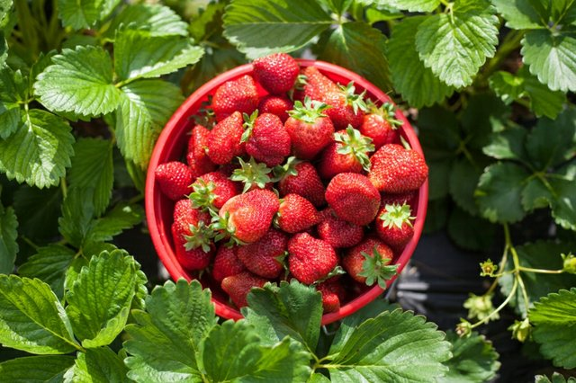 strawberry_picking-ddfd4df8.jpeg?ver=1556147302&aspectratio=1.5009380863039.jpe