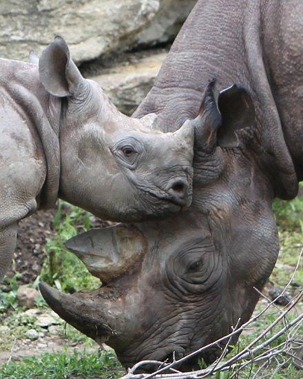 KC Zoo Eastern Black Rhino.jpg.jpe