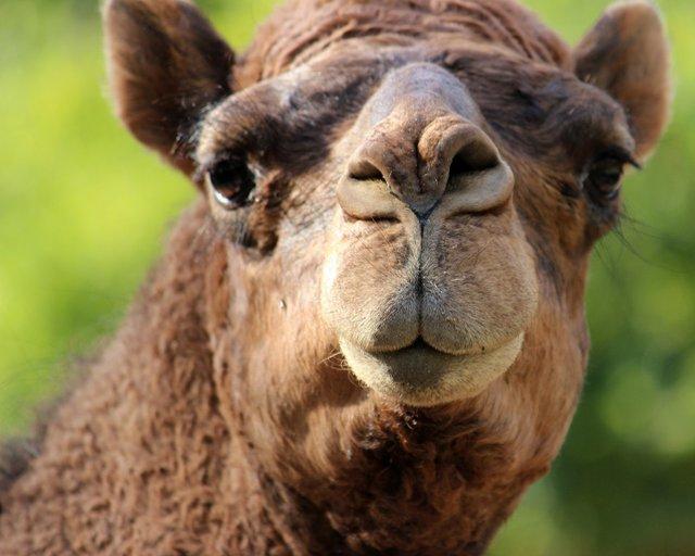 KC Zoo Dromedary Camel.jpg.jpe