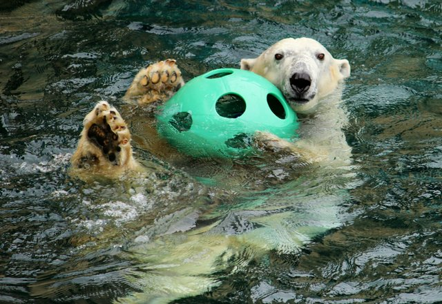 KCZooBerlinSwimmingwithball.jpe