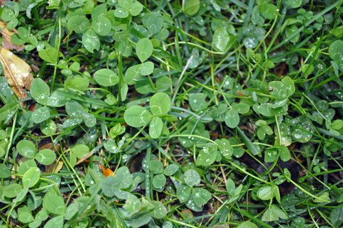 imagesevents27335Clover-and-new-grass-jpg.jpe