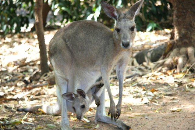 imagesevents27440Australia-kangaroo-jpg.jpe