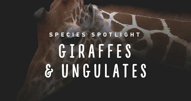 imagesevents28523speciesspotlight-giraffes-thumb-jpg.jpe