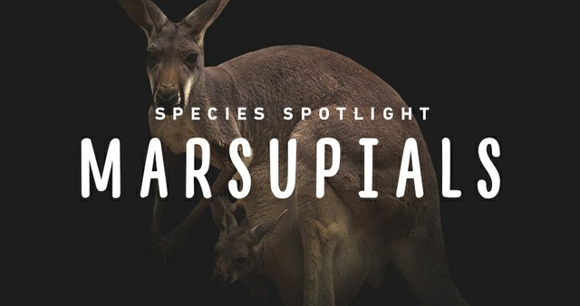 imagesevents29287speciesspotlight-marsupials-thumb-jpg.jpe