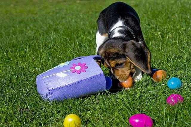 imagesevents30818beagle-puppy-easter-egg-hunt-header-jpg.jpe