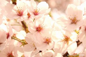 imagesevents31744blossoms-jpg.jpe