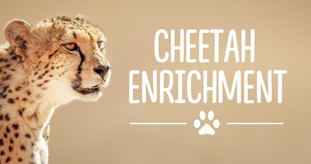 imagesevents31773cheetahenrichment-thumb-jpg.jpe