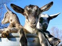 goats.jpg.jpe