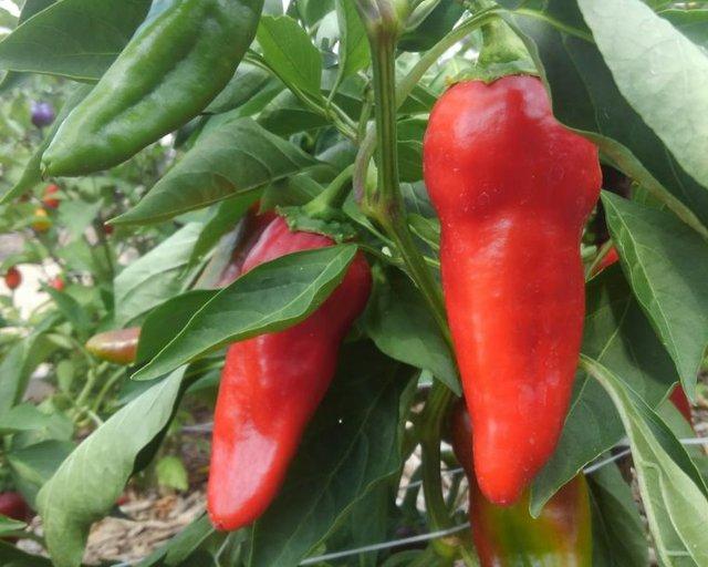 Carmen-Italian-Frying-PepperSweet-760x608.jpg