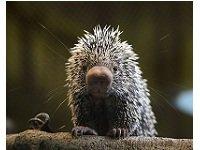 porcupine.jpg.jpe