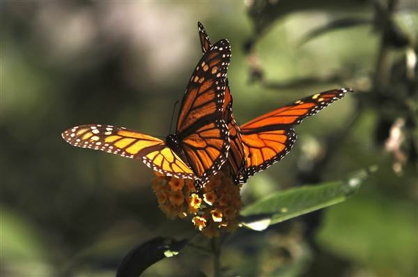 160414-monarch-butterflies-calif-944p_cd59a8cb4eef2e178a1d9ca4c1f68bea_nbcnews-ux-600-480.jpg