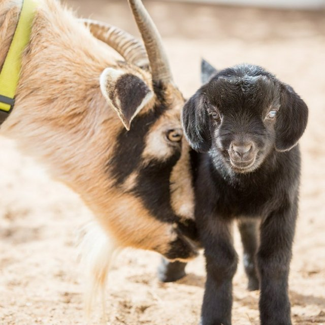 sedwick_county_zoo_goats.jpg