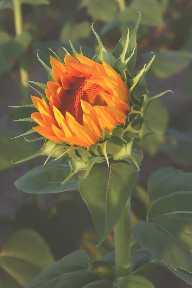 berrysunflower.jpg