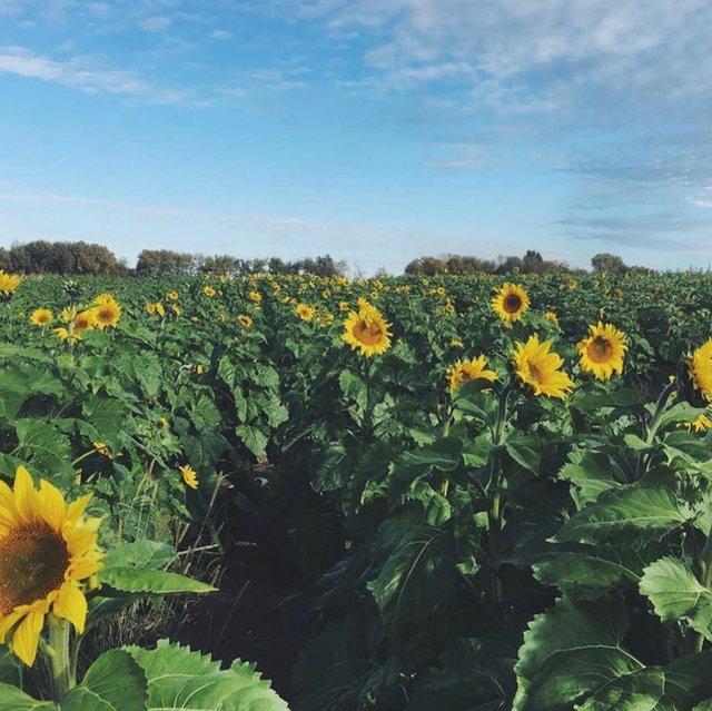 johnsonfarmssunflowers.jpg