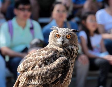 KCZoo SOAR Eurasian Eagle Owl.jpg.jpe