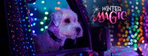 Winter Magic - Dog watches Christmas Lights in Swope Park.jpg