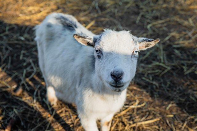 Goat_ happy fun farm .jpg