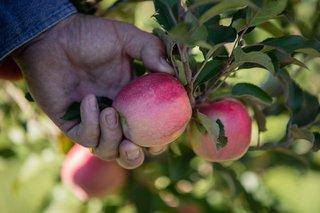 Apples_Galore Fun Farm .jpg