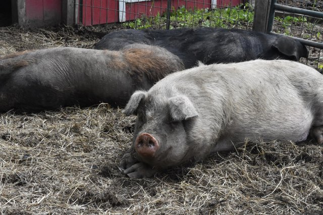 a pigs funfarm.jpg