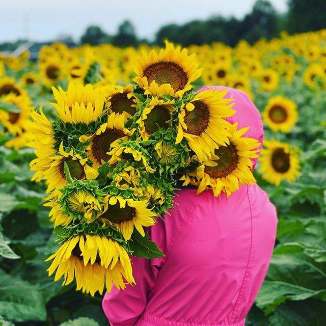 johnsonfarmssnflowers.jpg