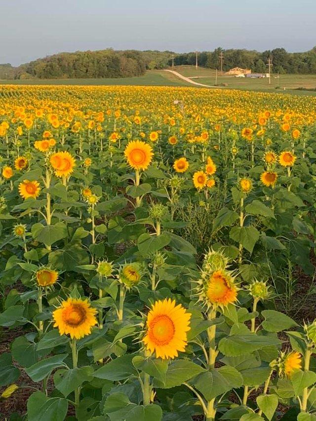 russellsunflower.jpg