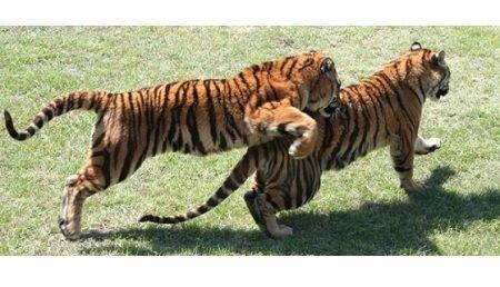 tigers.jpg.jpe