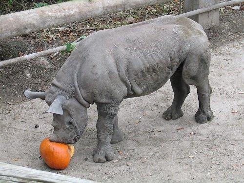 pumpkinsmashrhino.jpg.jpe