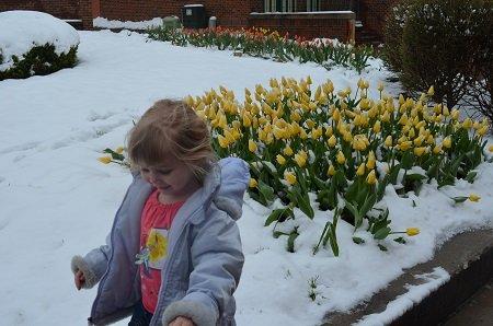 tulipsinthesnow2.jpg.jpe