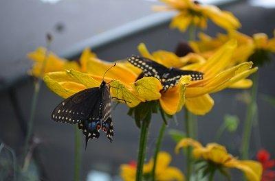 butterfly2.jpg.jpe