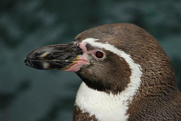 penguincloseup.jpg.jpe