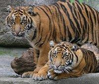 tigers200.jpg.jpe