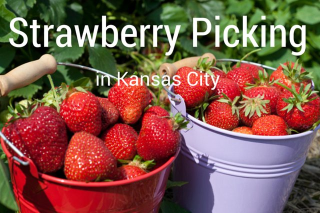 Strawberry Picking in Kansas City