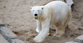 Berlin-polar-bear-with-food850x450.png
