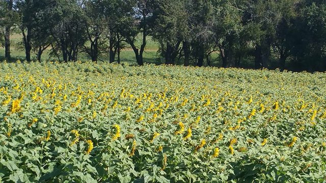 sunflowers(1).jpg.jpe