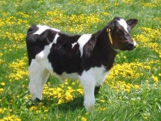 cows205.jpg.jpe